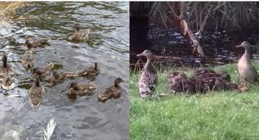 Kto z Trzesiecka porywa kaczki? Ma ich ubywać w zastraszającym tempie