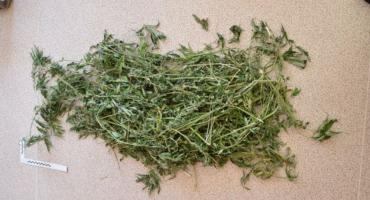 Na grzybobraniu miał znaleźć marihuanę. Wcześniej ukradł poroże jelenia