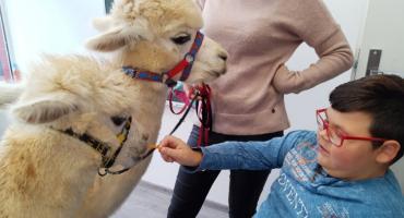 Przytul i... daj marchewkę. W Szczecinku alpaki gościły u niepełnosprawnych dzieci