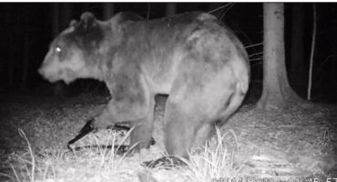 Niedźwiedź w Podlaskiem! [VIDEO]
