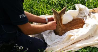 Policjanci ratowali małą sarnę [FOTO]