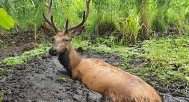 Podlascy leśnicy uratowali jelenia, który wpadł w bagno [VIDEO]