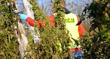 Narkotykowy biznes w Mątwicy. Kilkadziesiąt kilogramów ziela konopi i nielegalne uprawy [VIDEO i FOTO]