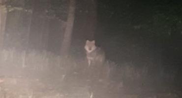 Spotkanie z wilkiem na Jelonkach
