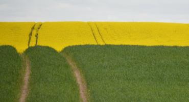 Krajobraz na żółto i zielono. Pola rzepaku pod Piłą [ZDJĘCIA]
