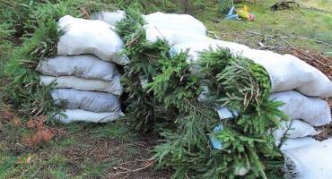 Kradli gałązki drzew. Leśnicy zatrzymali złodziei stroiszu