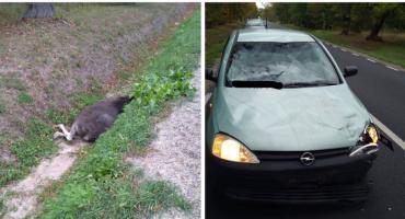 Zderzenie samochodu z łosiem