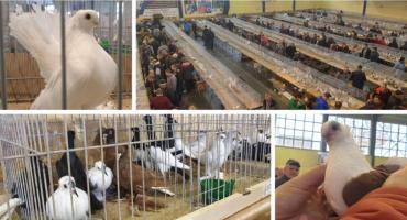 Wystawa gołębi rasowych ozdobnych w Garwolinie po raz 10.