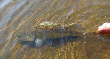 Sandacze na fileta i martwą rybkę