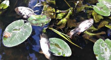 Śnięte ryby w Płonce