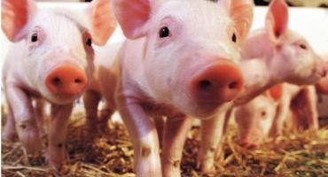 Petycja przeciwko budowie fermy trzody chlewnej w Nowym Dworze
