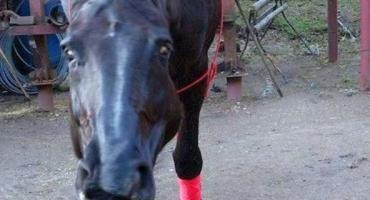 Koń, zwierzę rozumne