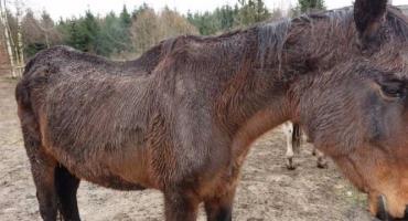 Chore konie spod Pniew