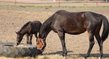 Racjonalne żywienie koni