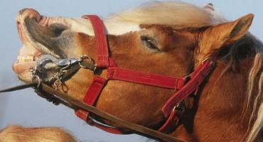 Udar cieplny u konia
