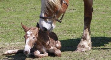 Opieka nad klaczą źrebną i poród