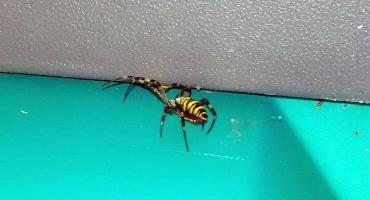 Jadowity pająk w Toi Toiu