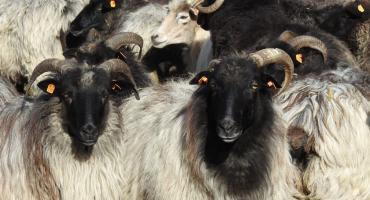 Owce lepsze niż kosiarki