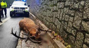 Pies gonił jelenia. Doprowadził do jego śmierci