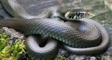 Schwytali węża w pobliżu szkoły