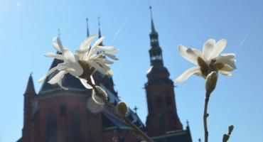 Wiosna w Legnicy już na całego - zakwitły pierwsze magnolie! [FOTO]
