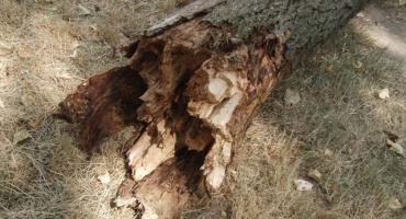 Złamało się drzewo. O włos od tragedii na Piekarach
