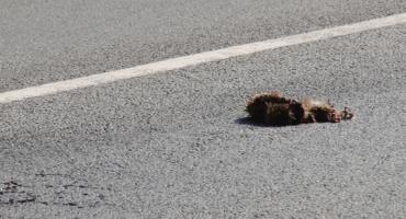 Kto ma sprzątnąć nieżywe zwierzę z ulicy zanim auta rozjadą je do końca?
