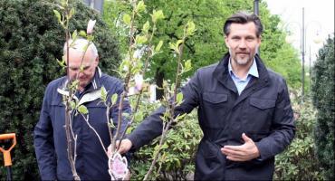 Magnolie rozkwitają  w al. Wolności