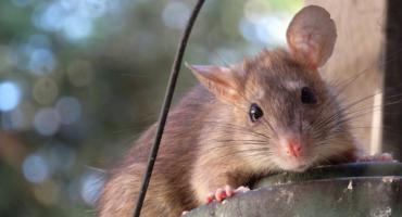 W dziurelli zagnieździły się szczury