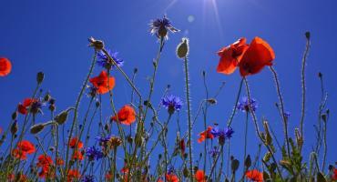 Przybywa pomysłów na łąki kwietne w mieście