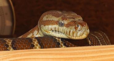Wąż - nowy pupil kaliszan