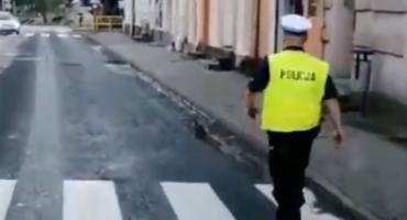 Policjanci ratowali kaczą rodzinę. Odprowadzili ptaki od ul. Mickiewicza aż do Wdy [FILM]
