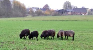 Stado owiec błąka się po Czaplach. Szukamy właściciela?