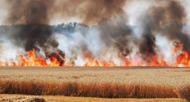 Spłonęło 60 hektarów pszenicy