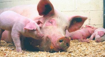 Już nie tylko dziki są zarażone - wirus u świni