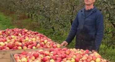 Jabłka sprzedaje po 12 groszy za kilogram