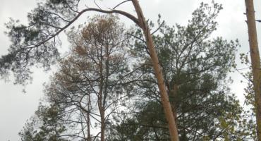 Groźny szkodnik zaatakował nasze lasy