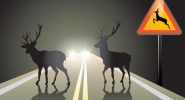 Uwaga! Na dzikie zwierzęta na drodze