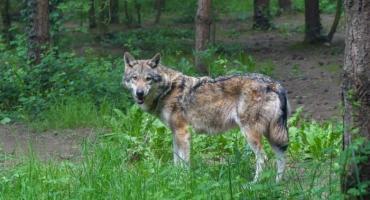 Jelenie, łosie, daniele i wilki. Jakie zwierzęta możemy spotkać w kartuskich lasach?