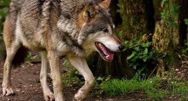 Jelenie, łosie, daniele i wilki. Jakie zwierzęta możemy spotkać w kościerskich lasach?