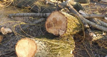 Konserwacja drzew za pomocą piły spalinowej.