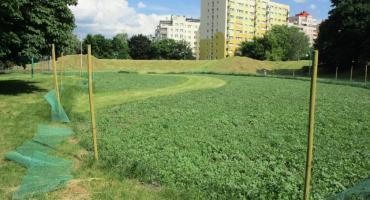 Kwietne łąki w Parku Korotyńskiego.