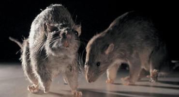 Trucie szczurów jest obowiązkowe