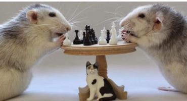 Szczury wygrywają z urzędnikami