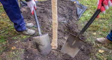 Sąsiedzi sadzą drzewa – na sąsiednich osiedlach i w bliskich sobie dzielnicach