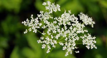 Toksyczne rośliny na Mazowszu