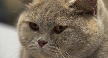 Światowa Wystawa Kotów Rasowych w Piasecznie