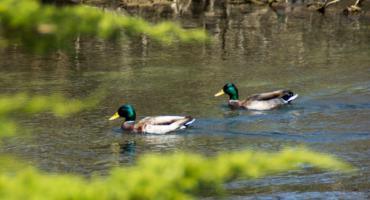 Trzeba dokarmiać kaczki w Parku Achera, ale z głową!