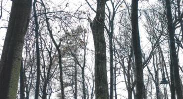 """Topola czarna """"Dobrawa"""" rosnąca w brwinowskim parku miejskim nowym pomnikiem przyrody"""