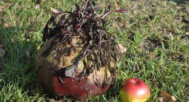 Konkurs na największy owoc i warzywo ogłasza gmina Brwinów